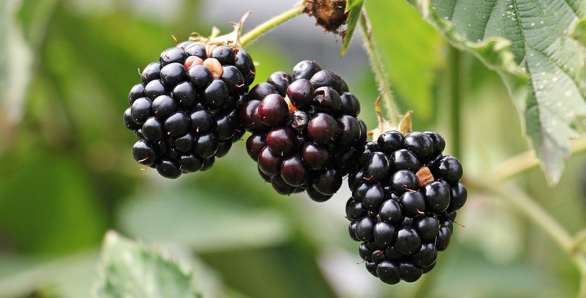 Prime Ark Freedom Thornless Blackberry 00333