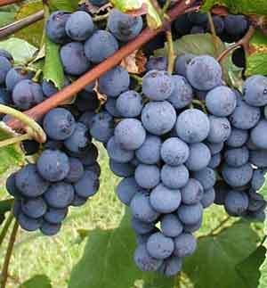 Concord grape 00125