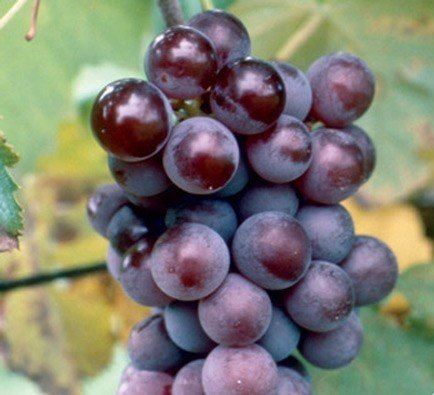 Champanel Grapevines 00384