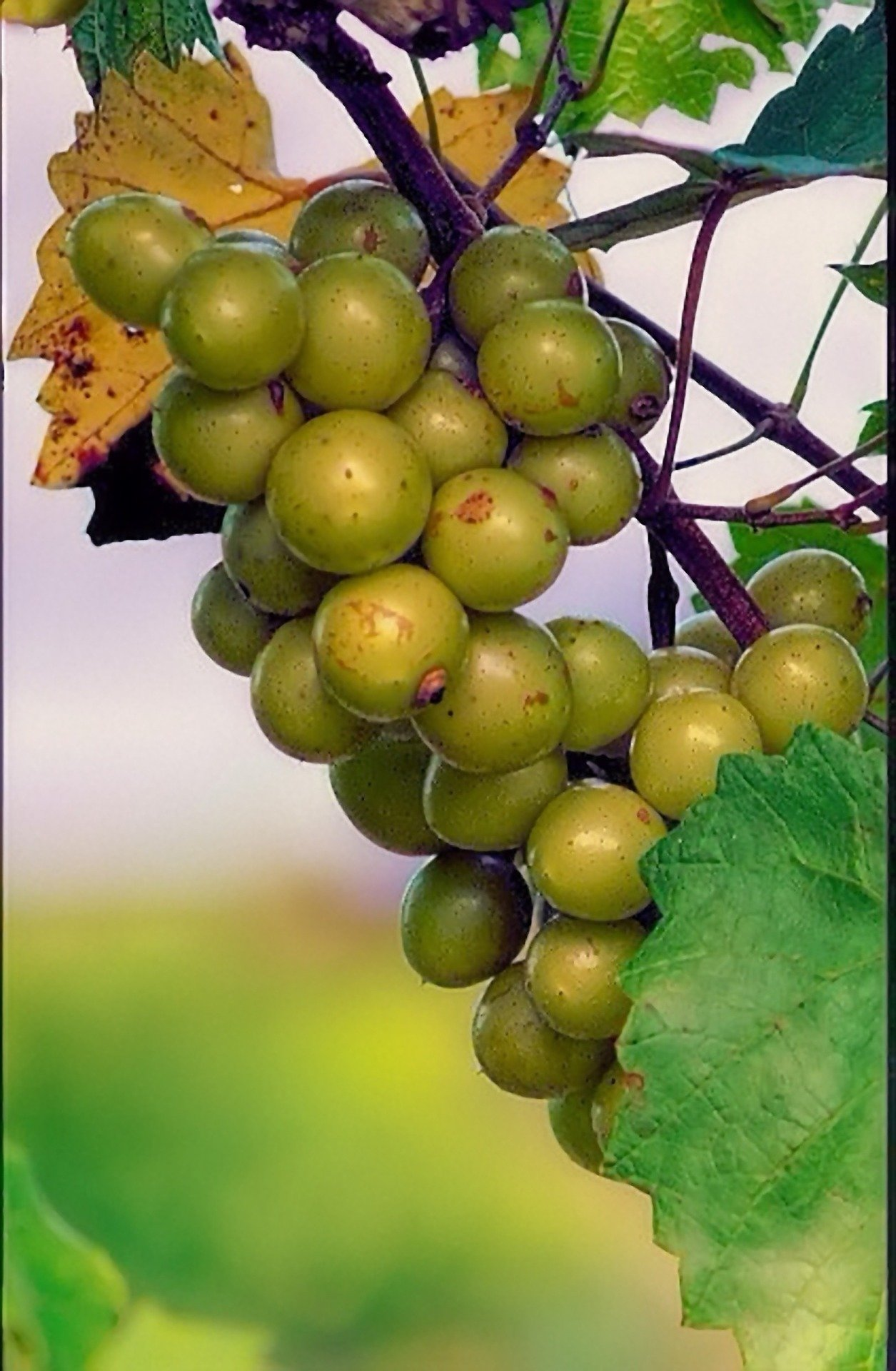 Scuppernong grapevines 00385