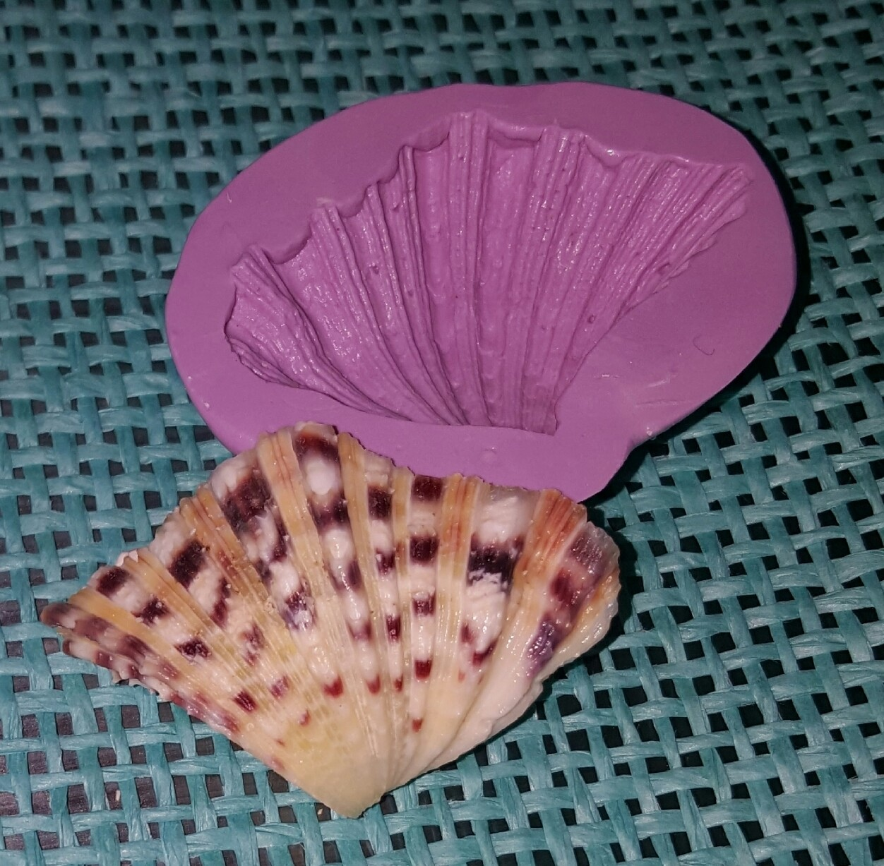 Broad Ribbed Cardita Shell