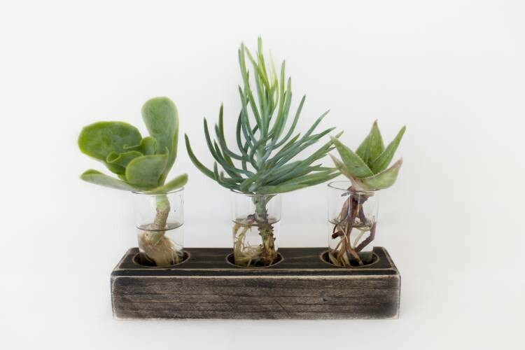 Hydroponic Succulent Gift Set Display