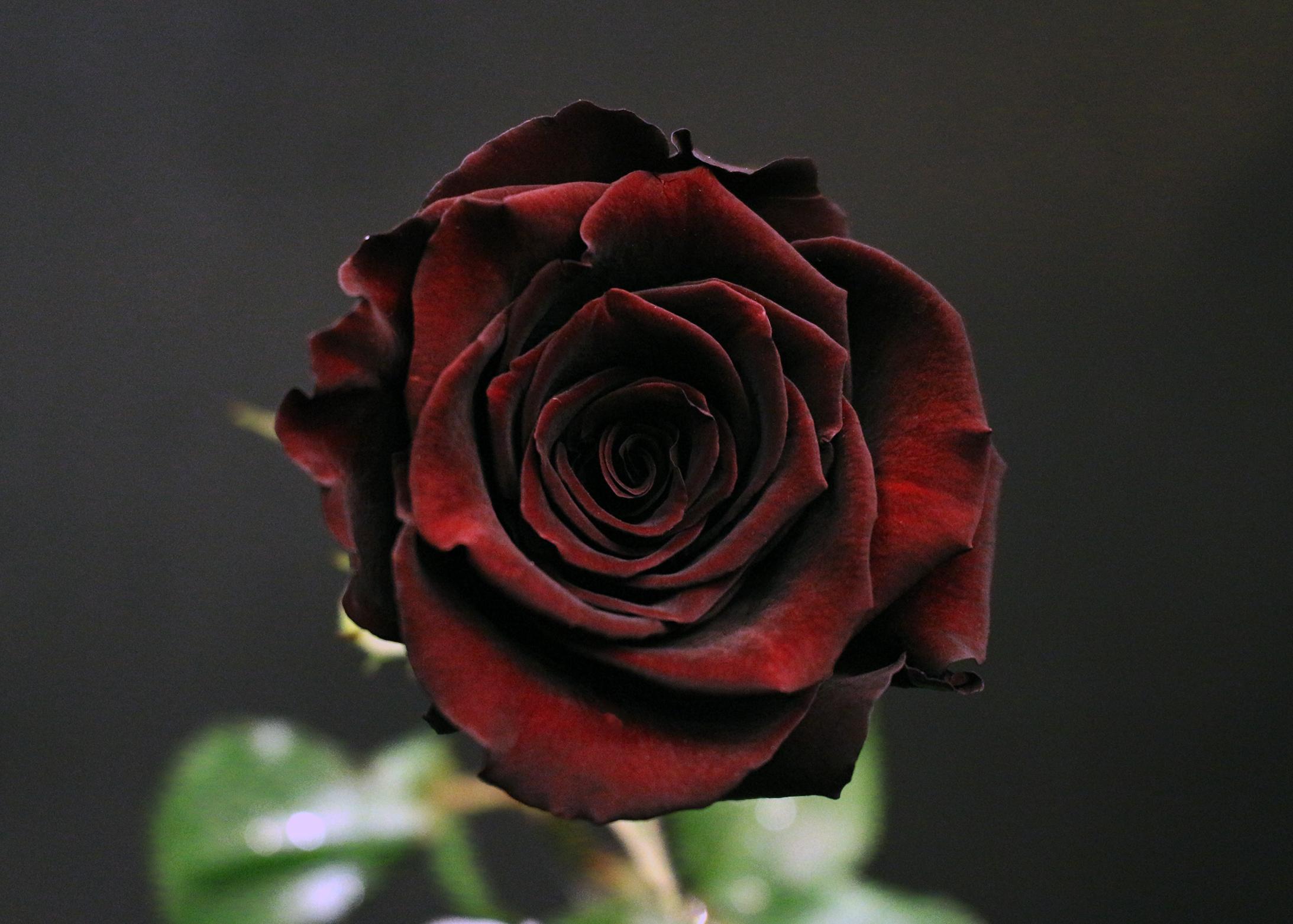 Rose black baccara fleurs de prestige fleuriste haut for Fleuriste rose
