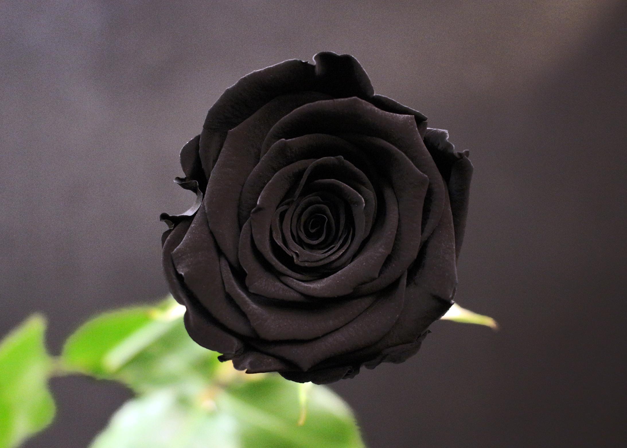 Rose noire fleurs de prestige fleuriste haut de gamme for Fleuriste rose