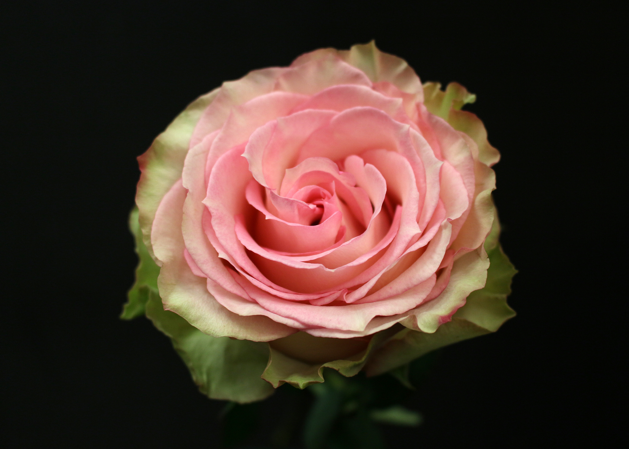 Rose esperance fleurs de prestige fleuriste haut de for Fleuriste rose