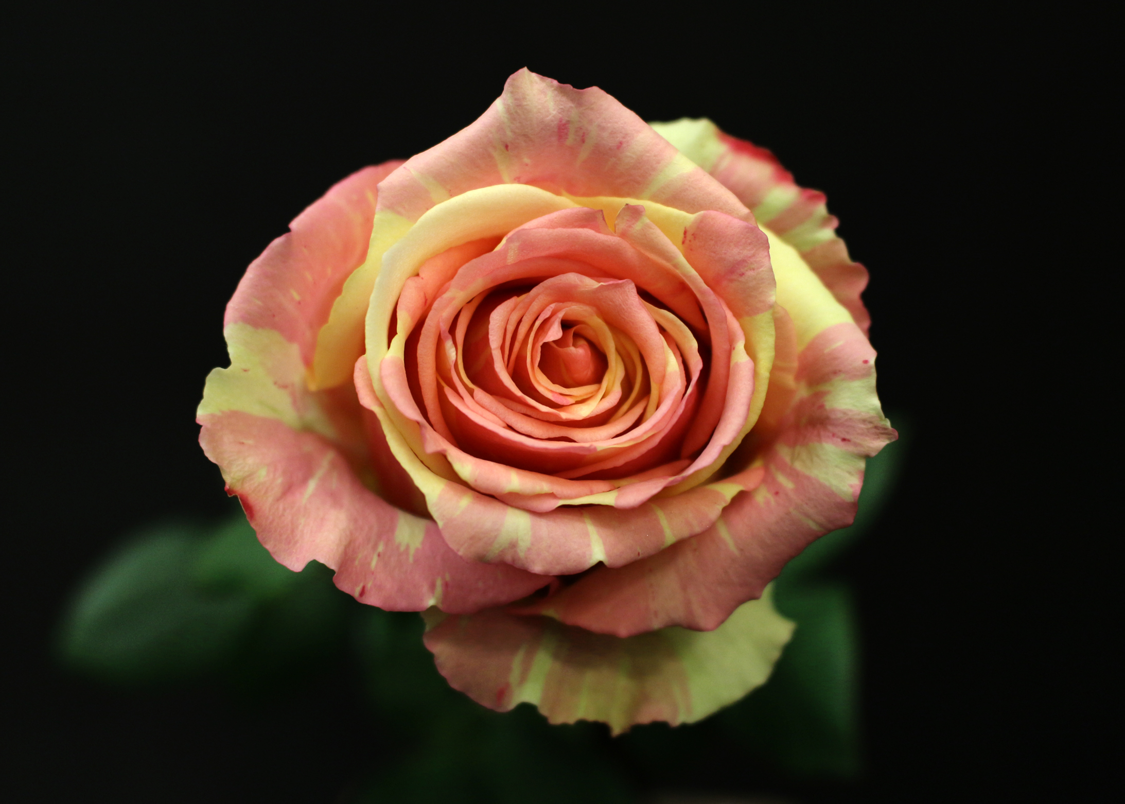 Rose fiesta fleurs de prestige fleuriste haut de gamme for Fleuriste rose