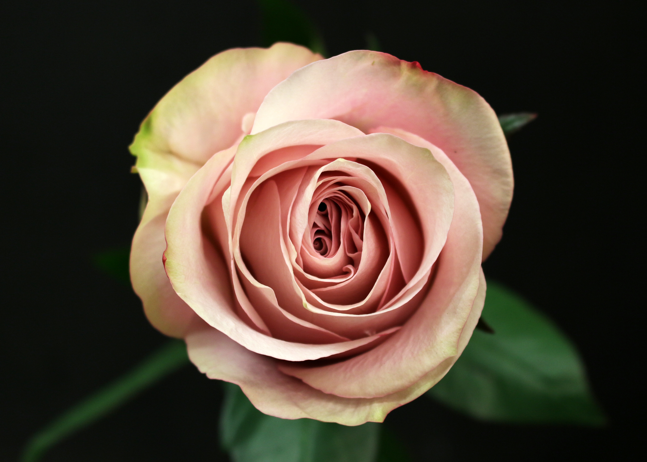 Rose secret fleurs de prestige fleuriste haut de gamme for Commander rose