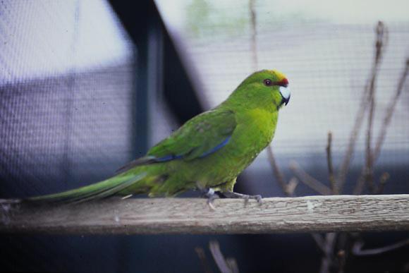 Kakarki Bird Harness Avian Leash    LEATHERS4FEATHERS
