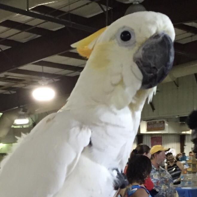MEDIUM SULFER CRESTED COCKATOO Bird Harness Avian Leash    LEATHERS4FEATHERS