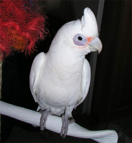 BARE-EYED COCKATOO / CORELLA Bird Harness Avian Leash    LEATHERS4FEATHERS