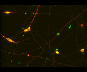 Quick-Neuron™ Dopaminergic SeV