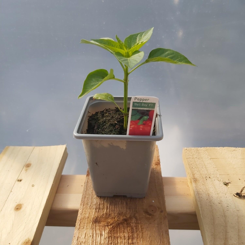 Pepper Plant - Bell pepper