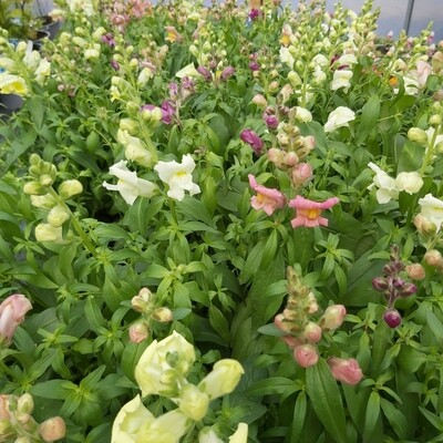 Antirrhinum Ma Gemengd - Mixed Colours