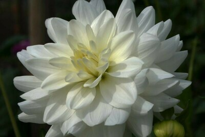 Dahlia Royal - White