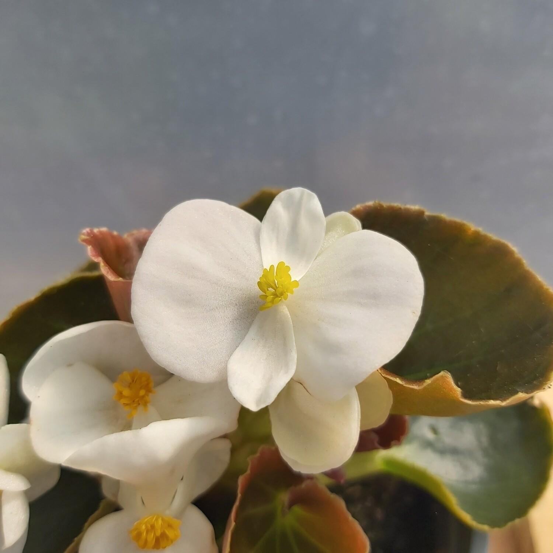 Begonia - Upright - White