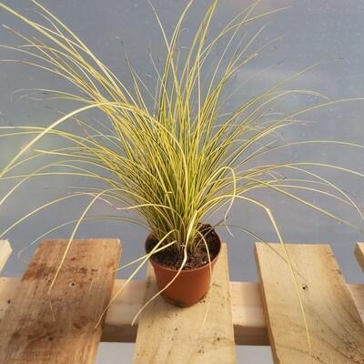 Carex Geminata - Type 1