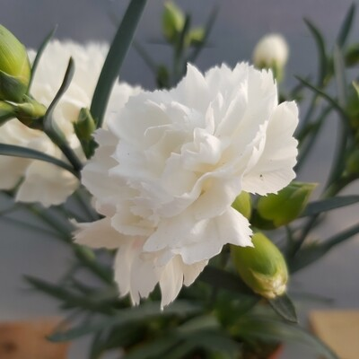 Dianthus - Super Trouper - White