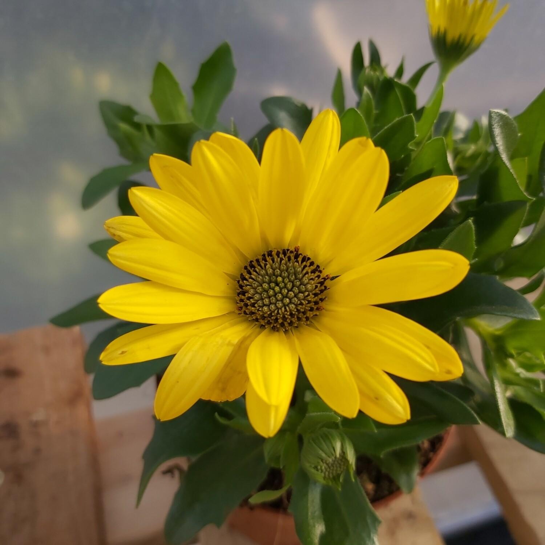 Osteospermum - Yellow