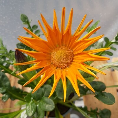 Gazanias - Gazoo - Clear Orange