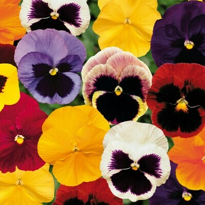 Pansy - 6 pack - Mixed colours