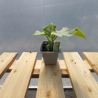 Cucumber Plant - Telegraph Improved