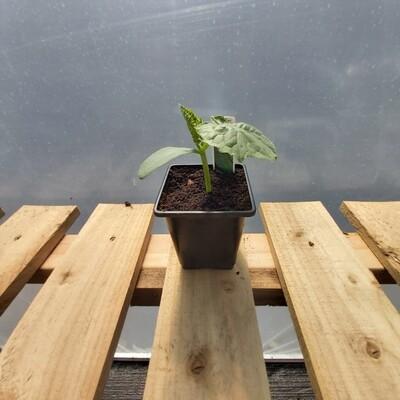 Cucumber Plant - Bedfordshire Prize