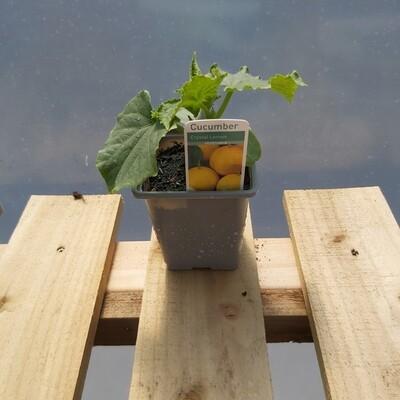 Cucumber Plant - Crystal Lemon