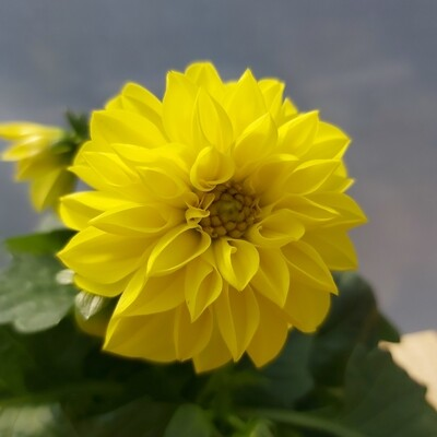Dahlia Royal - Yellow
