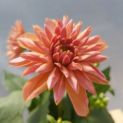 Dahlia Royal - Salmon Pink