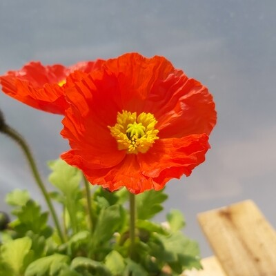 Poppy Gartenzwerg - Red