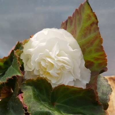 Begonia - Upright - White shades