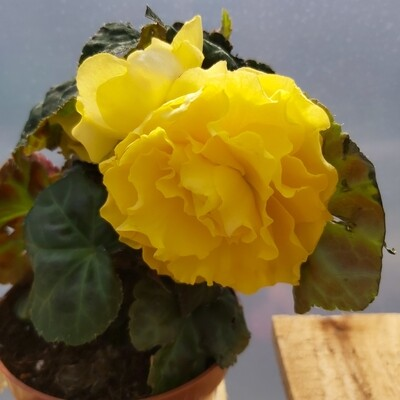 Begonia - Upright - Yellow shades