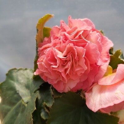 Begonia - Upright - Pink shades