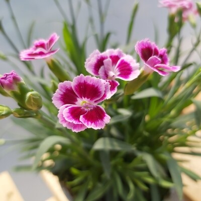 Dianthus - Pink Kisses - Pinks