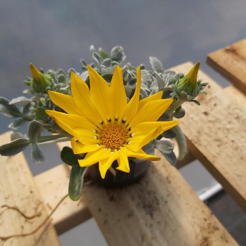 Gazanias - Beda - Yellow