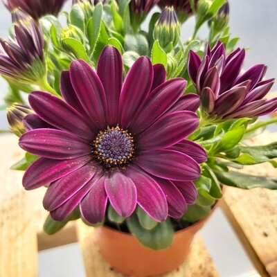Osteospermum - Deep Purple