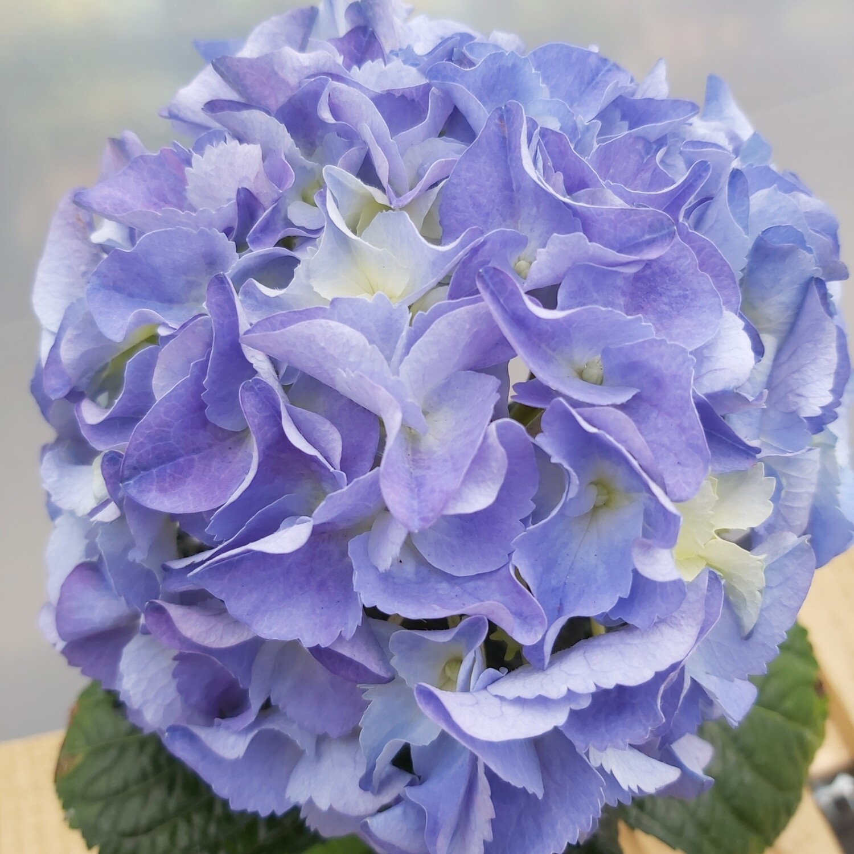 Hydrangea - Macrophylla - Blues