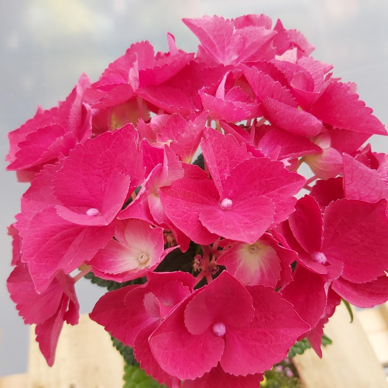 Hydrangea - Macrophylla - Pinks