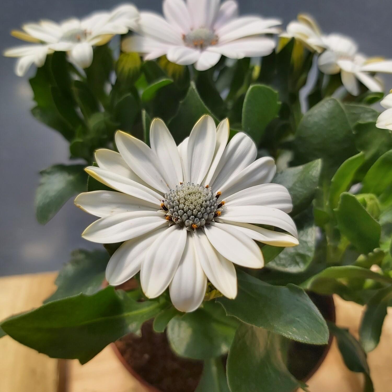 Osteospermum - White