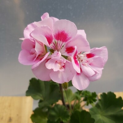 Geranium - Zonal - 1L - White (With Pink)