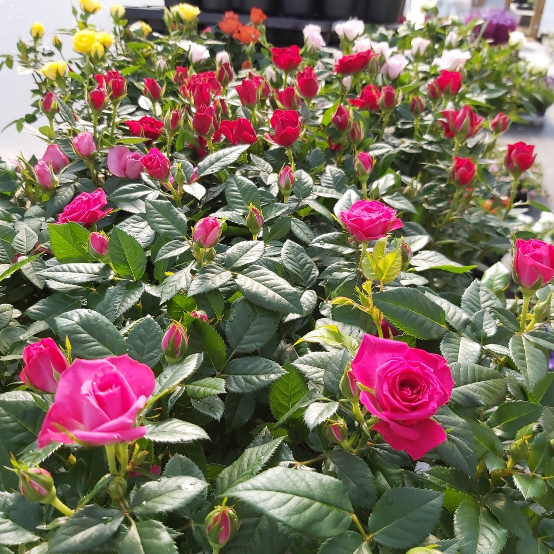 Rose - Miniature - Mixed colours
