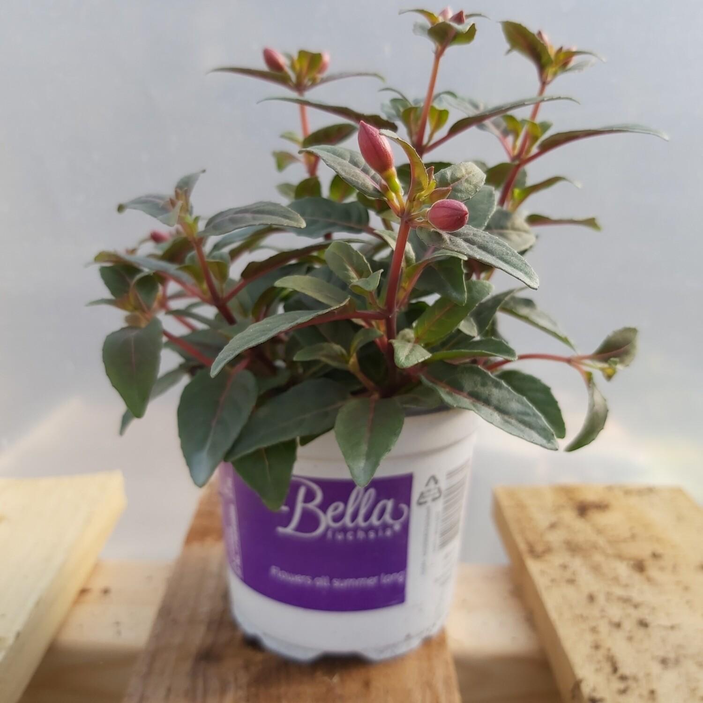 Fuchsia - Bella