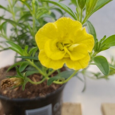 Calibrachoa - Yellow