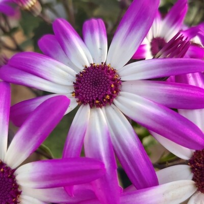 Cineraria - Florists - Purple
