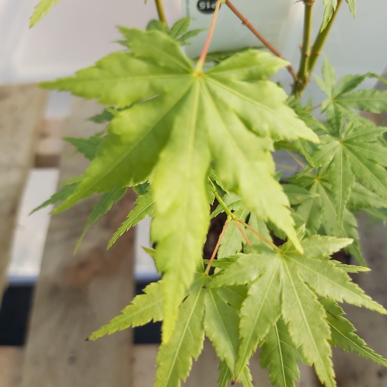 Acer palmatum - Going Green