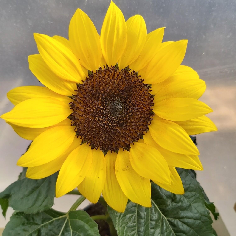 Sunflower Dwarf Sunsation