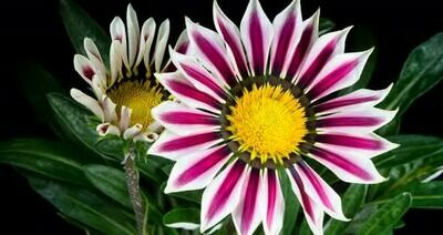 Gazanias - Gazoo - White / Purple