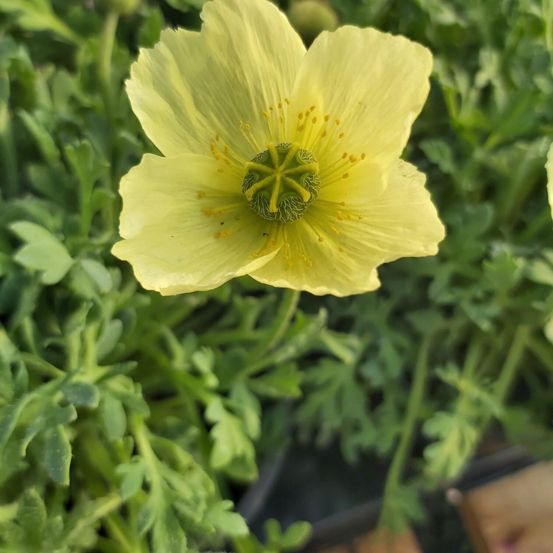 Poppy Pacino - Yellow