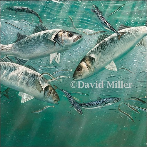 David Miller - 'Feeding Frenzy - Mullet, Mackerel and Sand Eels