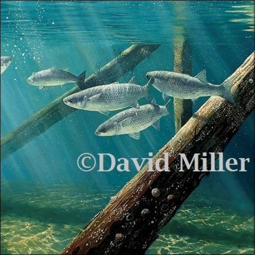 David Miller - 'Under the Pier, Mullet' Print